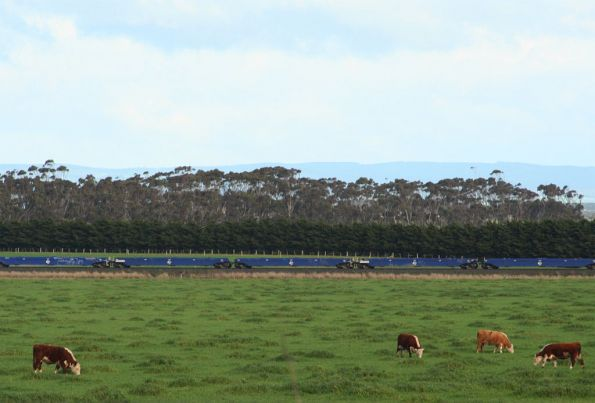 Cattle graze as the well wagons roll by
