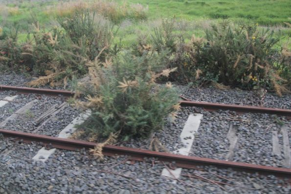 Trees growing on the goods siding at Dandenong South