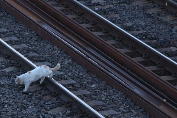 Cat crossing the tracks at Footscray
