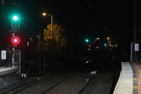 White cat crosses the tracks at Footscray