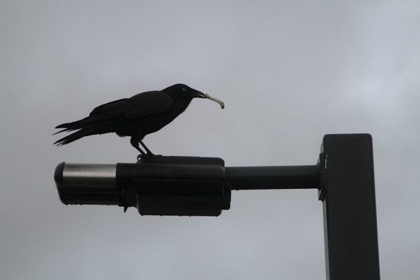 Bird and a chicken bone atop a station lamp