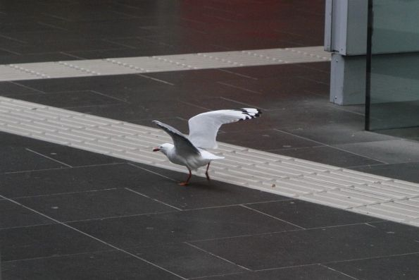 Seagull off to steal chips at Southern Cross Station