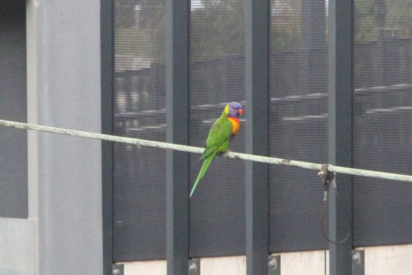 Rainbow lorikeet sitting on the overhead wires at Sunshine station