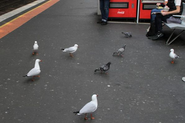 Seagulls and pigeons on the lookout for chips at Southern Cross Station