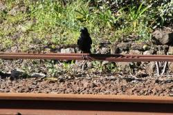 Crow on the point rodding at South Geelong station
