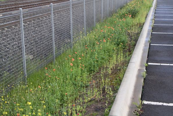Poppies growing in the station car park at Albion