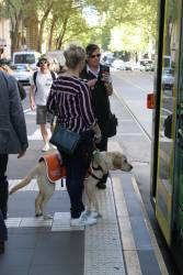 Guide dog in training boards a low floor tram on Collins Street