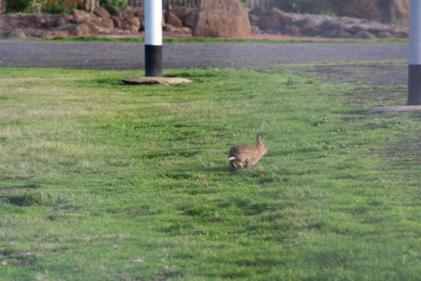Another rabbit on the run