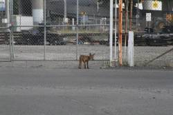 Fox on the loose at South Dynon